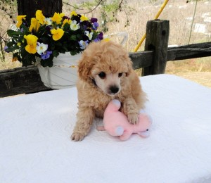 Very cute creamy colored male. Small little powderpuff.  Adult weight 5 to 6 lbs.  For more information email mthompson@jaipurtoypoodles.com.