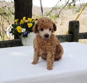 Dark apricot male pictured at 6 weeks. Very elegant, up on leg puppy. Sweet and animated.  For more information email mthompson@jaipurtoypoodles.com.