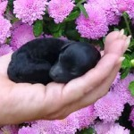 3 Day old poodle